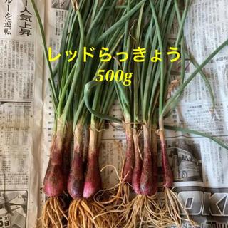 沖縄産 レッドらっきょう 1㎏(野菜)