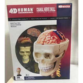人体模型 頭 スカル(模型/プラモデル)