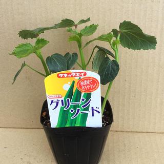 グリーンソード オクラ 3苗 9cm ポット付の発送(野菜)