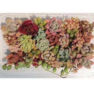 多肉植物 カット苗 パック  9(その他)