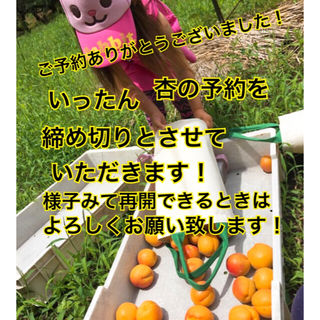 Apricots  長野県産 6/14以降収穫開始予定  7/1収穫終了(フルーツ)