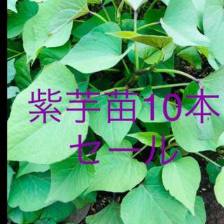 サツマイモ苗ー紫芋10本(野菜)