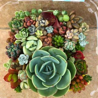 多肉植物♥゛七福神の寄せ植えセット(その他)