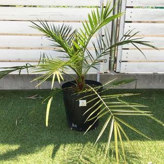 カナリーヤシ フェニックス ヤシの木 庭木 観葉植物 西海岸 直接引渡可No.3(その他)