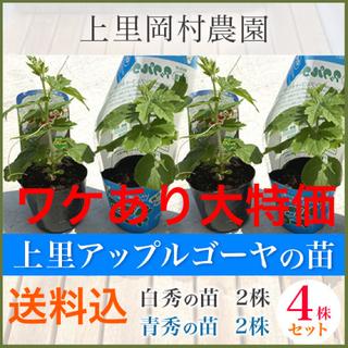 50521【n4H2S2】送料込!寅さんのアップルゴーヤ苗ワケあり白青4株(野菜)