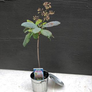 スモークツリー苗 グレース 煙の木 11(その他)