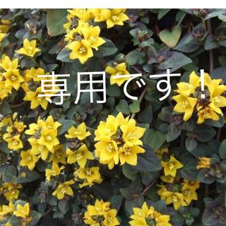 ★リシマキア・ミッドナイトサンの苗★(その他)