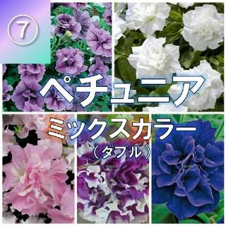 【ペチュニア⑦】大輪(ミックスカラー)種子30粒(その他)