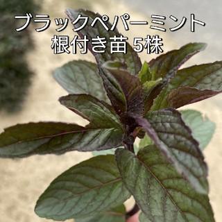 ブラックペパーミント 根付き苗(野菜)