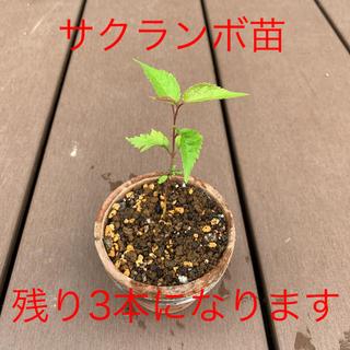 桜の苗木 1本(プレゼントつき)(その他)