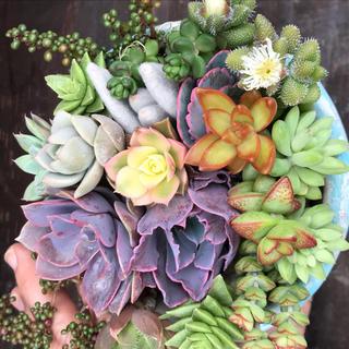 多肉植物カット苗17種類(その他)