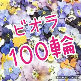 数量限定!ビオラ100輪お得セット♡(ドライフラワー)