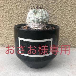 コピアポア・コルムナアルバ(掻き仔)(その他)