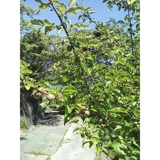 梅。小梅。広島県産。無農薬。サイズ混。参照用。5/8。品種『竜峡』「甲州小梅」。(フルーツ)