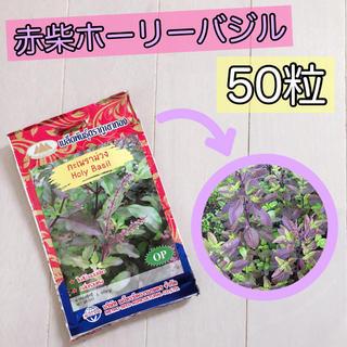 希少赤柴ホーリーバジルの種50粒(その他)