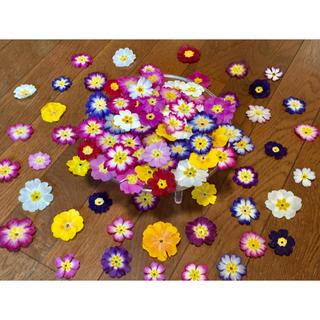 お花屋さんが作ったプリムラのドライフラワー山盛り70冠です‼️(ドライフラワー)