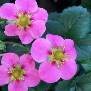 花の苗 ピンクの花 四季なりイチゴ 抜き苗(その他)
