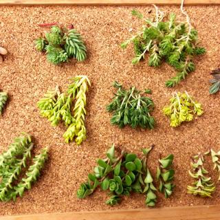 多肉植物 セダム属5種+おまけ2種(その他)