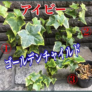 観葉植物 アイビー (その他)
