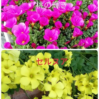 ✨ オキザリス 桃の輝き セルヌア 各8球(その他)