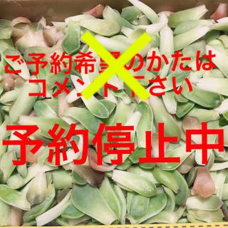 韓国多肉植物の葉挿し 詰め詰めたくさん(その他)