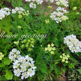 オルレア 花芽付き 中苗 3本 抜き苗(その他)
