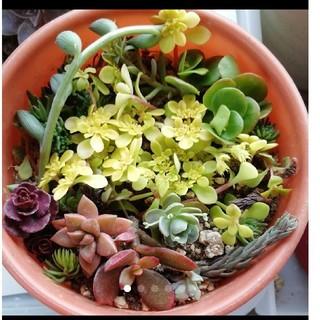 多肉植物セダム色々15種類以上(その他)
