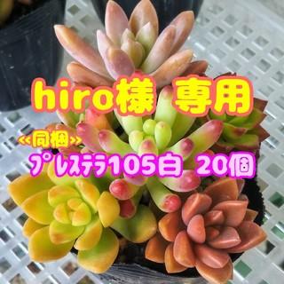 【hiro様 専用】【抜き苗】多肉植物 カラフル寄せ植え♪ 他 セダム 紅葉(その他)
