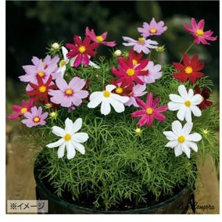 ✨ 花の種 コスモスの種 カサノバミックス 25粒(その他)
