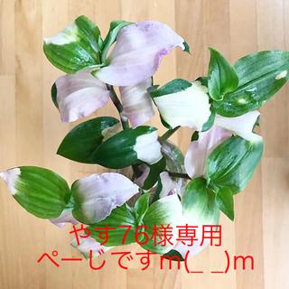 トラディスカンチア胡蝶の舞ロングカット & ハラン①(その他)