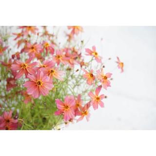 コレオプシス ウリドリーム  花の種(その他)