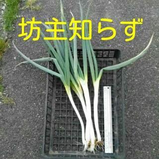 坊主知らず ネギ苗2本 着払い381円 坊主不知 ワケネギ(野菜)