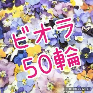 数量限定!ビオラ50輪お得セット♡(ドライフラワー)