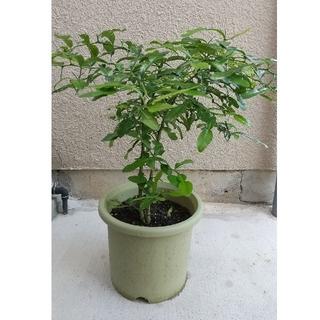 コブミカンの木(バイマックルー)(野菜)