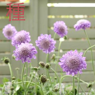 スカビオサ ブルーバタフライ 花の種(その他)