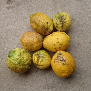 moko様専用  訳あり!広島県大崎下島産 特別栽培無農薬レモン 7キロ(フルーツ)