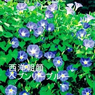 春まき花の種  西洋朝顔「ヘブンリーブルー」の種を60粒(その他)
