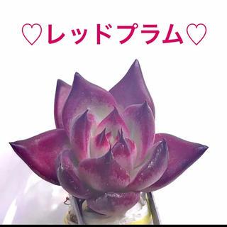 a13 多肉植物 韓国苗 レッドプラム エケベリア 多肉(その他)