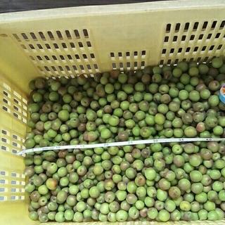 値下げ!小梅3キロ、広島県産、無農薬、サイズ混。「竜峡」「甲州小梅」。自然栽培。(フルーツ)