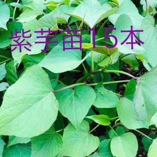 サツマイモ苗ー紫芋15本(野菜)