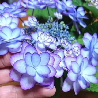 脇芽あり♥️紫陽花 挿し枝 ラスト2本(その他)