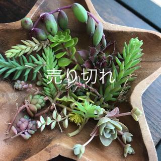多肉植物カット苗セットプレゼント付き(その他)