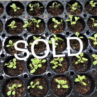 リーフレタス 有機種子 3〜4苗(野菜)