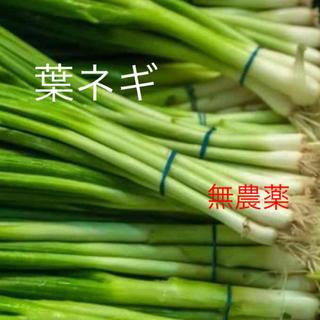 自家栽培 無農薬 ネギ苗根つき5本485円(野菜)