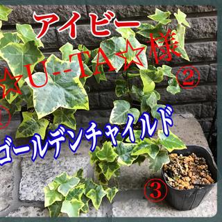 ☆U--TA☆様 ご専用❣️観葉植物 アイビー (その他)