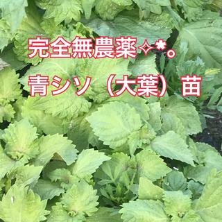 完全無農薬✨青シソ(大葉)根付き苗5本🌱(野菜)