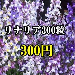 花の種・リナリア(姫金魚草)300粒以上(その他)