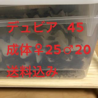 デュビア 成体 45 (♂20♀25)送料込み(爬虫類/両生類用品)