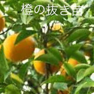 柑橘苗 橙みかん 苗から育ててみませんか!どんどん大きくなり可愛く楽しみです(フルーツ)