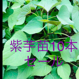 パープルスイートロード10本(野菜)